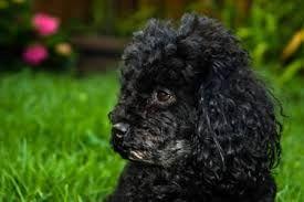 Image result for toy poodles