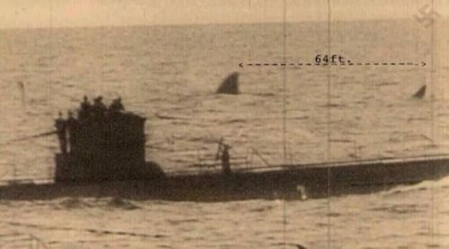 bundyspooks:  This photograph of a 1940s German U-Boat appears to show an extinct Megalodon floating along side it. The existence of the gigantic shark has been disputed by many, but a lot of scientists say there's evidence to support the fact that they may still be out there.