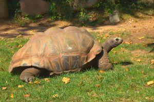 Tortuga gigante en el Zoo de Barcelona