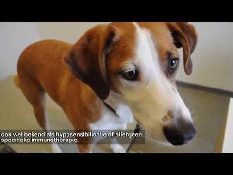 Atopie / omgevingsallergie bij de hond |Allergie bij honden