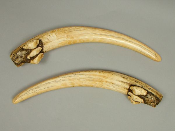 Goods from Central Asia- Walrus Tusks