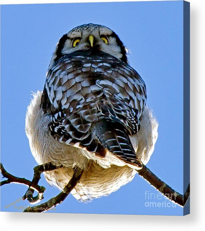Northern Hawk Owl Looks Around  The Northern Hawk Owl (Surnia ulula) have a wonderful plumage and beautiful pattern on the wings we can see when he looks around. Uppland, Sweden By Torbjorn Swenelius Photography