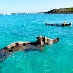 Ilha nas Bahamas é habitada por simpáticos porcos nadadores