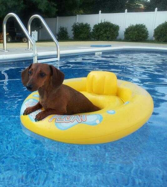 My 2 Yr Old Dachshund Blossom Loves Floating Swimming Around In The Pool Doxie Puppy Dog Love