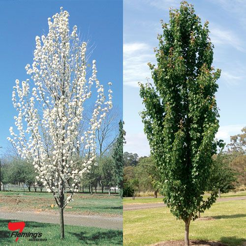 Entry Trees option 1 - Pyrus calleryana 'Capital'
