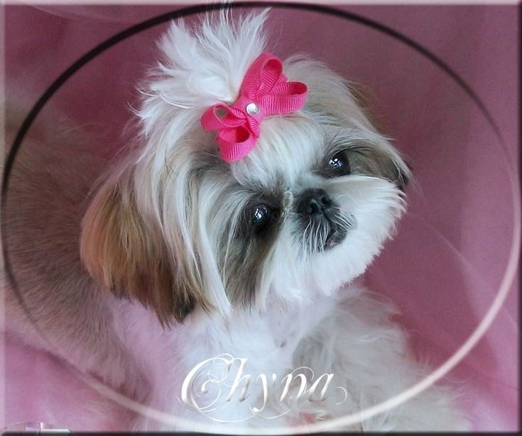 Teacup puppies for sale in texas cheap