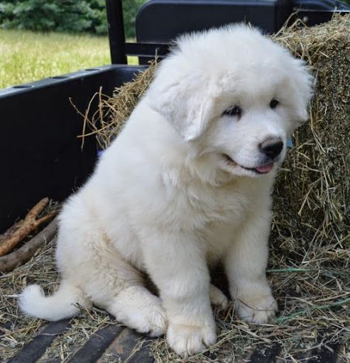 Great Pyrenees puppy. If I ever allow us to get a dog, I'd like one of these.