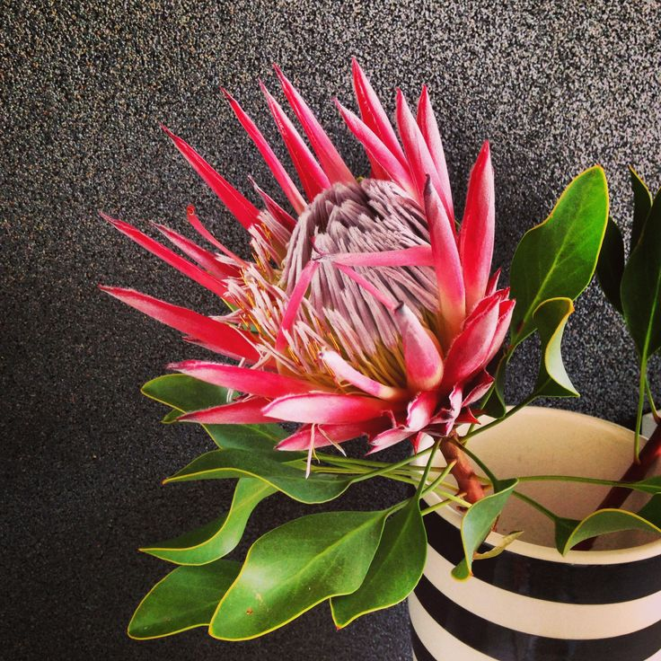Absolutely beautiful King Protea - proudly South African.