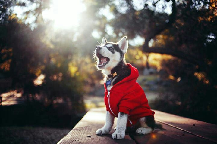 Siberian Husky puppy with a hoodie ♥