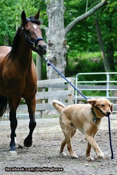 yellow lab dog horse