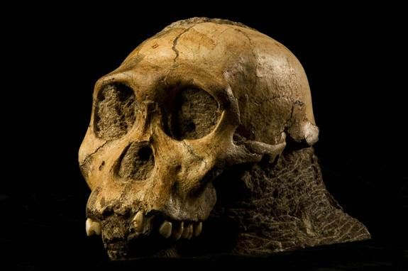 A Close Relative   Fossils of the extinct hominid known as Australopithecus sediba were accidentally discovered by the 9-year-old son of a scientist in the remains of a cave in South Africa in 2008, findings detailed by researchers last year. The fossils' mix of human and primitive traits found in the brains, hips, feet and hands make a strong case for it being the immediate ancestor to the human lineage, scientists report in the Sept. 9, 2011, issue of the journal Science.