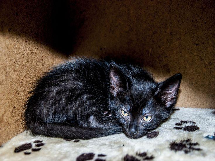"""Wszyscy bredzą, że czarny kot przynosi pecha…, czy pomyślał ktoś, że on sam może mieć pecha? I to przez duże """"P"""" Chciałem wam opowiedzieć o Saszy, moim kocurze, który zamiast przynosić innym pecha choć jest czarnym kotem, sam bierze wszystko na siebie. Zaczęło się już w czasie, kiedy był malutkim kociątkiem. Posłuchajcie: Urodził się na pewnym złomowisku, niestety z całego miotu został tylko on i jego braciszek. Matka musiała się wybrać na polowanie i zdarzyło się nieszczęście – nie…"""