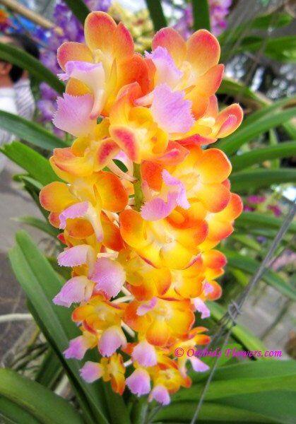 Vandachostylis Bangkok [Vascostylis] orchid  $42
