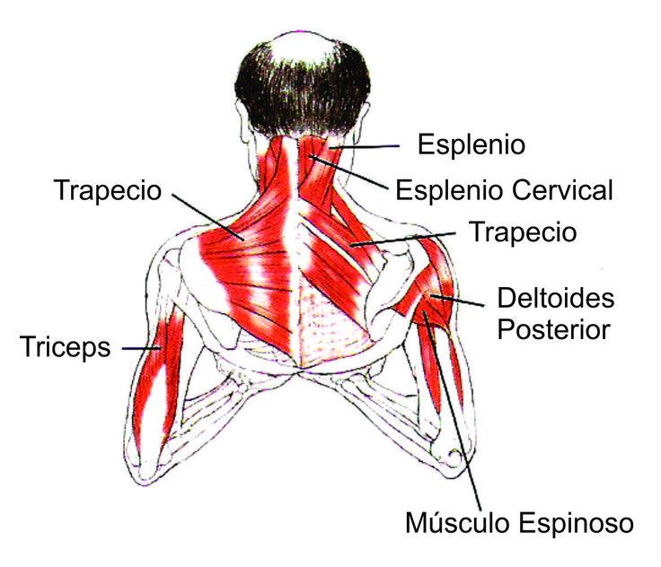 musculos del hombro brazo antebrazo y mano - Buscar con Google
