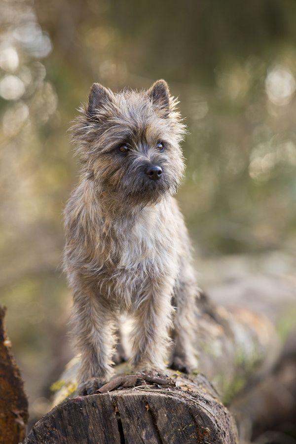 silly lil' nugget of a dog -- cairn terrier puppy