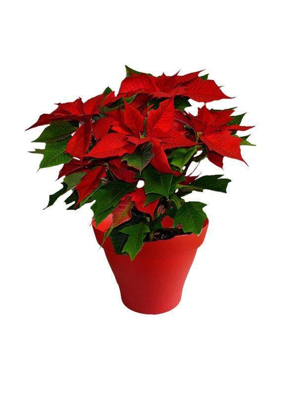 Poinsettia rouge avec cache pot rouge