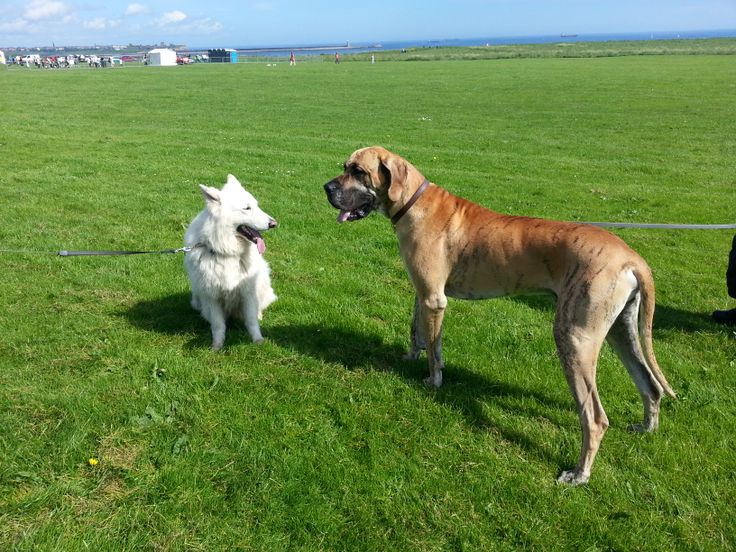 Archie and Kurtis the Great Dane about to start the Great North Dog Walk! The Leas, South Tyneside.