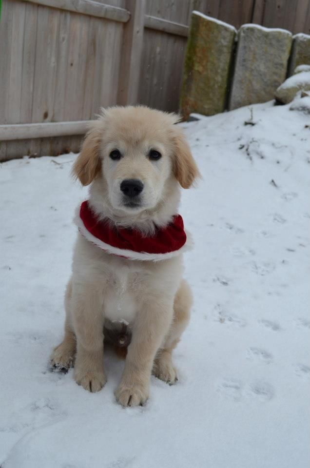 Golden retriever puppy - Archie's first snow!