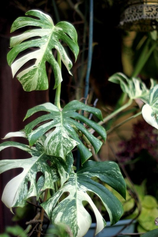 Obsessed- Variegated Monstera Deliciosa, the Swiss Cheese ...