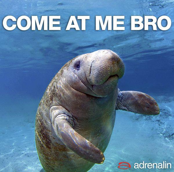 Funny Manatee Meme : He s the man atee meme funny manatee pinterest