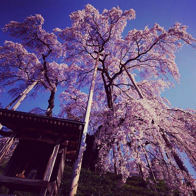 【kentaroumizukami】さんのInstagramをピンしています。 《#桜 #枝垂れ桜 #満開 #春 #カメラ #カメラ仲間 #カメラ好きな人と繋がりたい #東京カメラ部 #一眼レフカメラ#nikon #nikond750 #広角レンズ #写真好きな人と繋がりたい #写真 #写真を撮るのが好き #写真撮る人と繋がりたい #写真撮ってる人と繋がりたい #ファインダー #ファインダー越しの私の世界 #ファインダー越の風景 #ファインダー越しのわたしの世界 #ファインダーの中の私の世界 #いいねした人全員フォローする #followme》