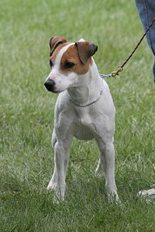 Jack Russell Terrier.  Very hyper dogs, but we love ours. She can be very sweet also.