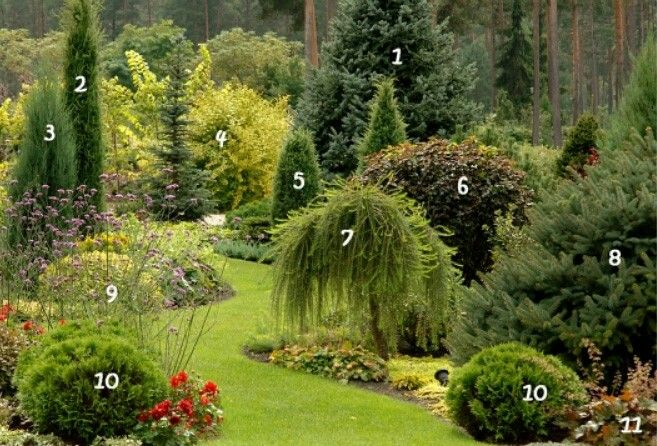 1. Spruce rough     7. The European larch 'Pendula' 2. Juniperus communis 'Stricta'       8. Rough fir 'Compacta' 3. The rocky juniper 'Blue Arrow'     9. Verbena Buenos Aires  4. The English physocarpus 'Darts Gold'      10. Thuja occidentalis 'Danica'  5. Juniperus communis 'Cracovica'     11. Geyhera American 'Palace Purple Select'  6. The English physocarpus 'Diabolo'