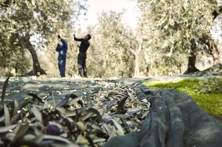 The olive harvest is a practice that is carried out mostly by hand and in the period from late October to mid- or even December. #OlioVù #VultureDop #Basilicata #olive