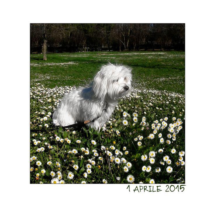 Cane maltese - aprile 2015