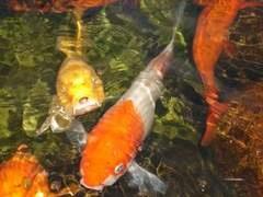 Peixes exóticos -