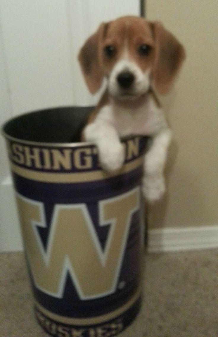Not a Husky...Just a Beagle