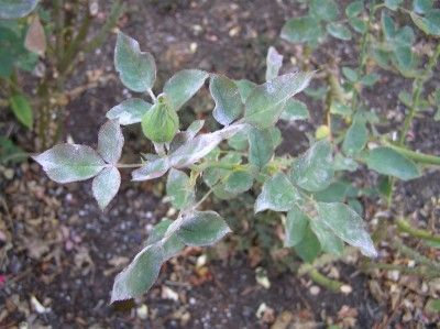 What is that white powdery stuff all over your rose leaves? The rather common problem of powdery mildew is not too hard to deal with. Learn how in this article.
