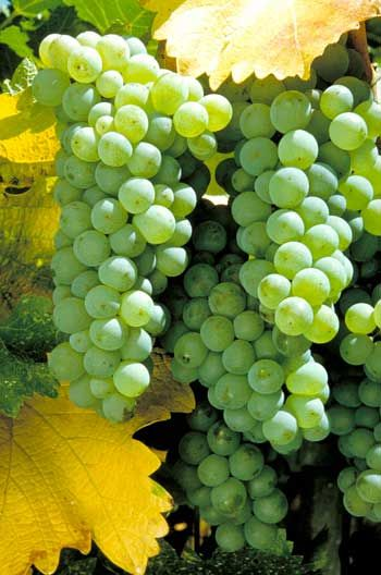 Major types of white wines