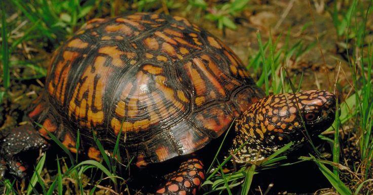¿Qué comen las tortugas pequeñas de agua dulce?. Los hábitats de agua dulce, como lagos y ríos, ofrecen abundantes opciones de comida para tortugas. La mayoría de las tortugas son omnívoras, lo que significa que comen tanto carne como plantas. Las tortugas no tienen dientes, pero sus bocas tienen bordes afilados que les ayudan a moler su alimento. Las tortugas pequeñas pueden tomar ventaja de su ...