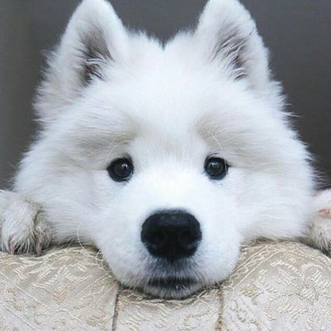 Samoyed puppy Photo by @wscam Tag your friends  #cuteanimalplus