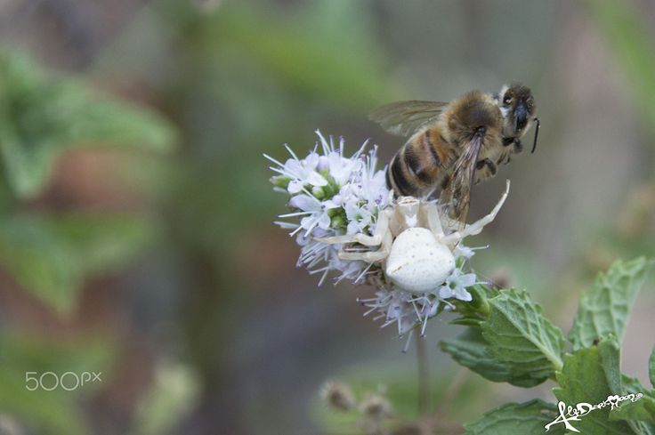BEE HUNGRY - This summer while I was watering my mint plants I saw a spider who was catching a bee..