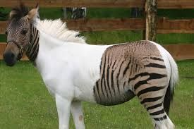 Image result for zonkey images