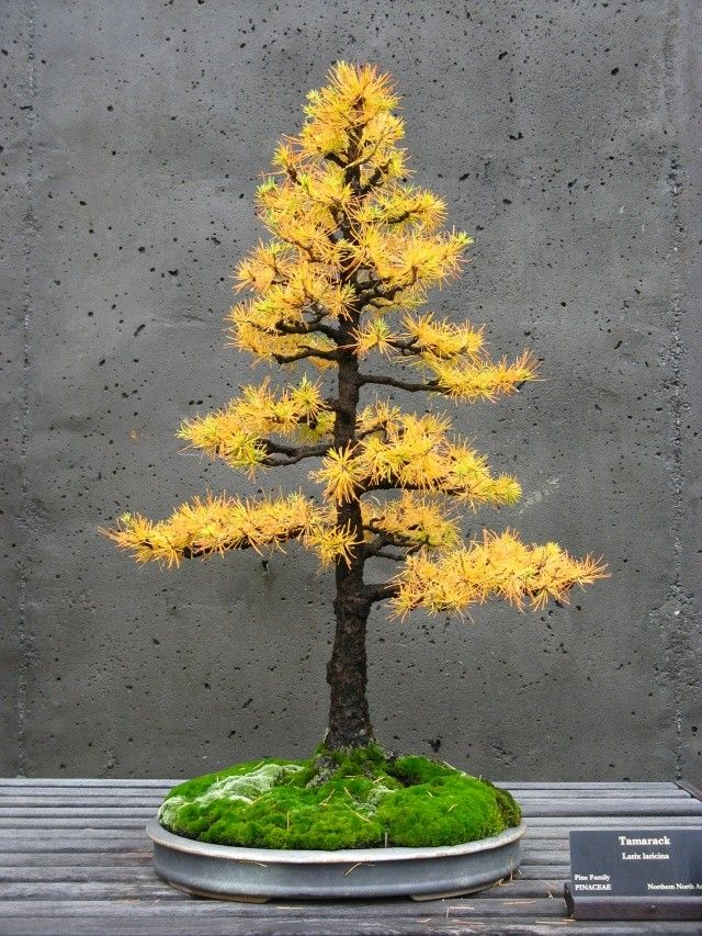 The same Tamarack, or American Larch, Bonsai, Formal Upright style (Chokkan) in it's autumn colours.