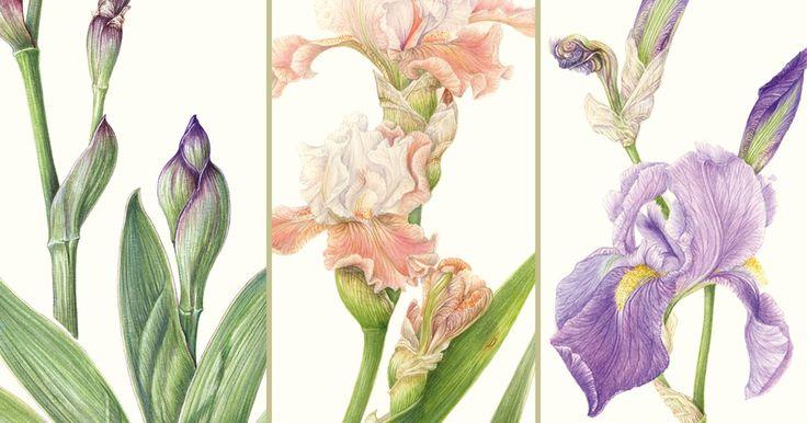 Risultati immagini per disegni botanici iris
