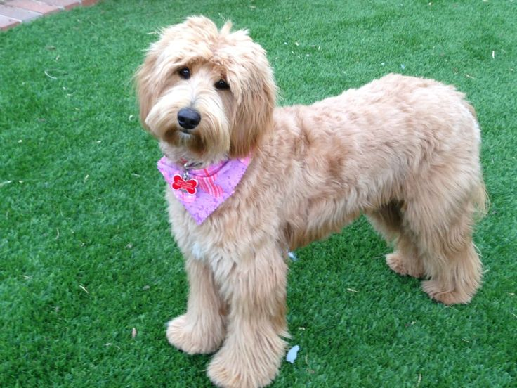 Dog Grooming Video Goldendoodle