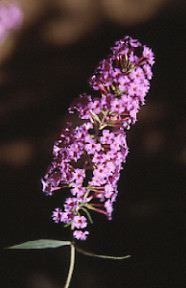 Butterfly Bush - Buddleja davidii     The tiny flowers are borne on long, arching branches, with some flower spikes up to 50cm long. Attention,enlever les fleurs fanées, car le buddléia se propage facilement...