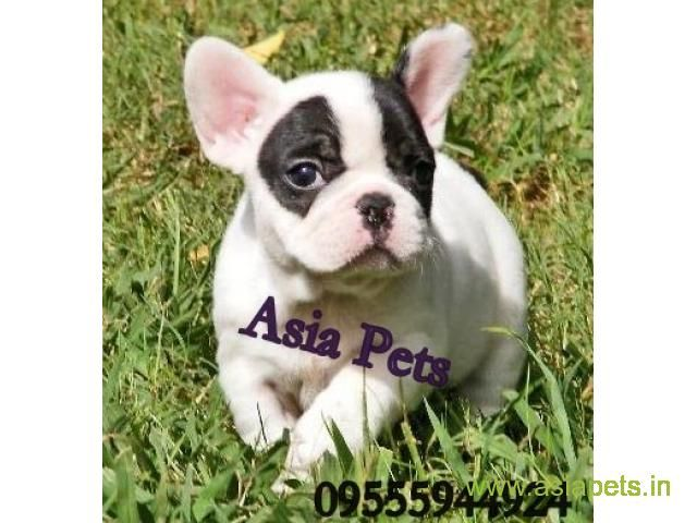 French Bulldog Puppies For Sale In Indore On Best Price Asiapets French Bulldog Puppies Bulldog Puppies Bulldog Puppies For Sale