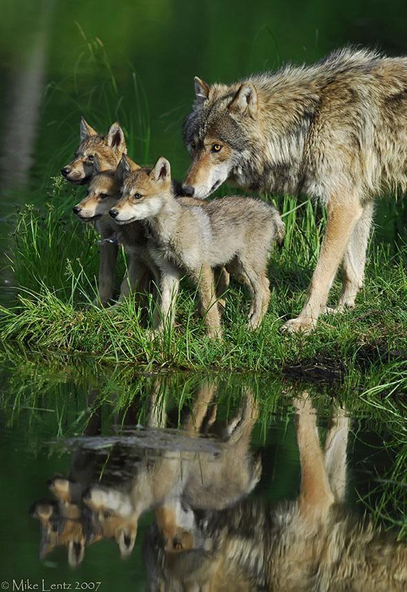 Um lobo e seus filhotes