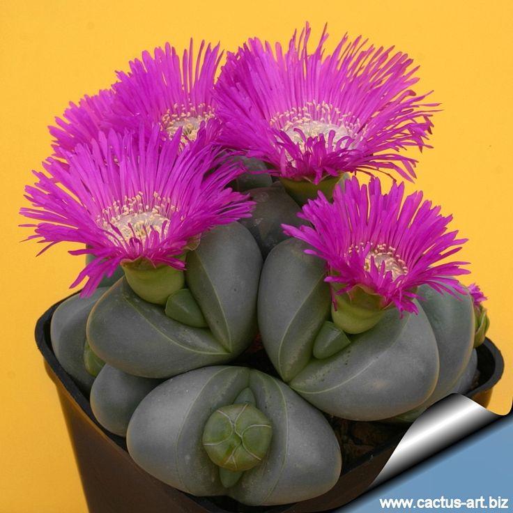 """Lithops es un género de plantas suculentas con 109 especies pertenecientes a la familia Aizoaceae nativas del África austral. Se denominan vulgarmente piedras vivas o planta piedra derivando su nombre del griego: """"lithos"""" y """"ops""""."""