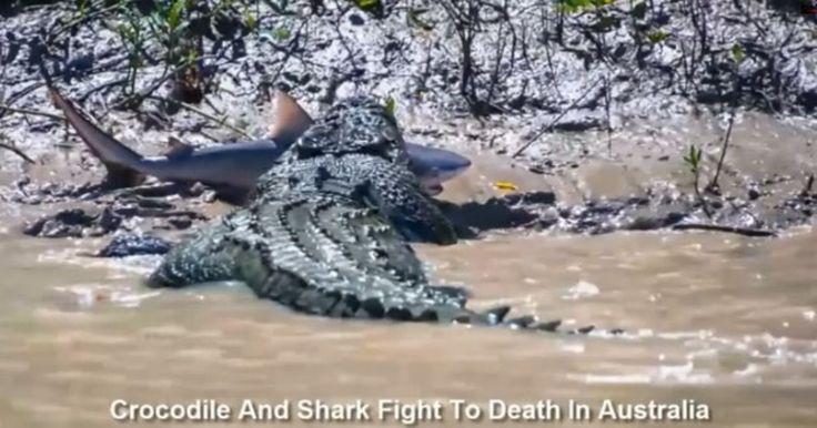 'Crocodilo monstro' é flagrado devorando tubarão em rio australiano