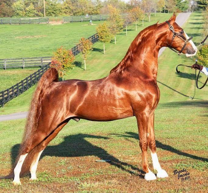 The American Saddlebred