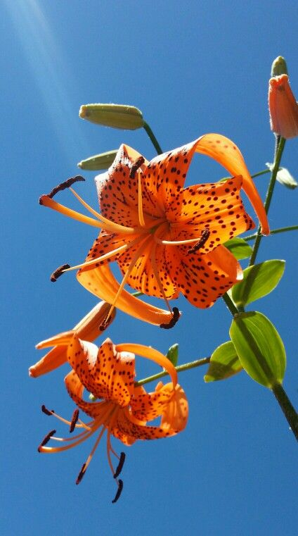 Tiger lily with beautiful color contrasts.