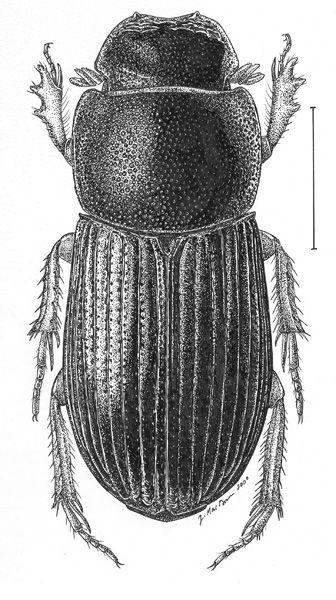 Ataenius.abditus.jpg (336×600)