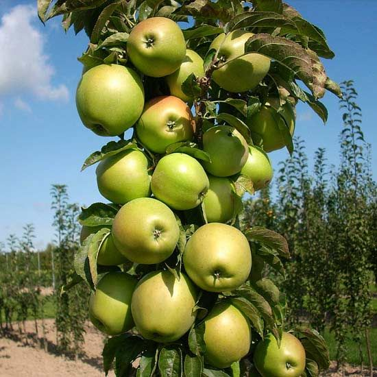 Bring an apple orchard into your backyard without losing your entire yard by planting a columnar apple tree. Varieties in the Urban Columnar Apple series grow only 8-10 feet tall and less than 2 feet wide, making it easy to grow and harvest the same as if you had an acreage of apples.