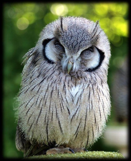 The Owl, in Celtic traditions, represents wisdom, stealth, change, clairvoyance, and seeking deeper knowledge. The owl also represents death as a form of rebirth. In some folklore, the owl serves as a protector of the forest and some faery beings are frightened of owls.